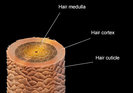 structure-of-hair-fibre